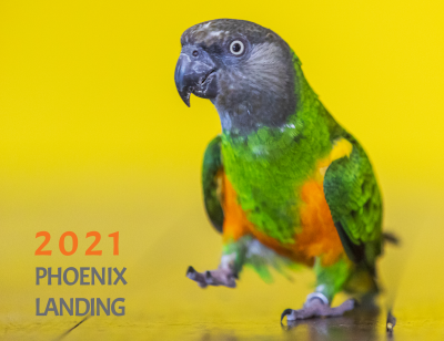Phoenix Landing 2020 calendar cover. Features an African Grey parrot.