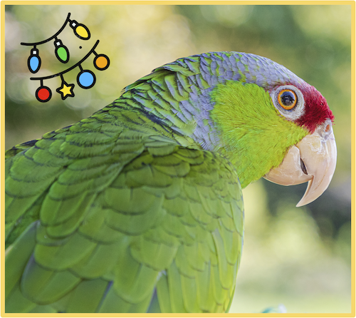 Holiday gifts for parrots - two Quaker parakeets with holiday decorations
